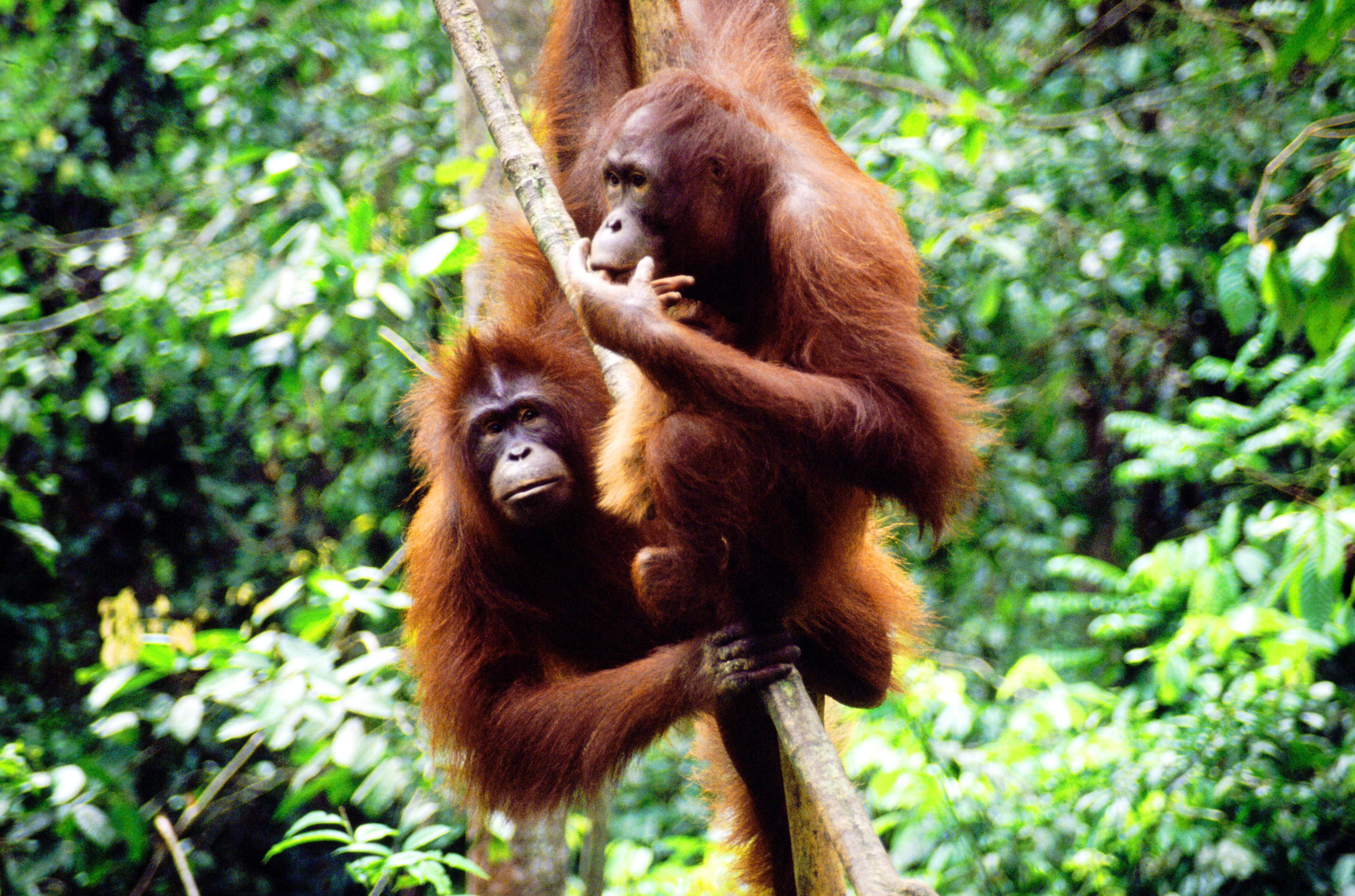 Kletternde Orang Utans - Mulu National Park - Borneo Malaysia
