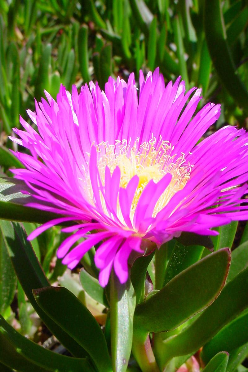 Wildblume Costa Brava