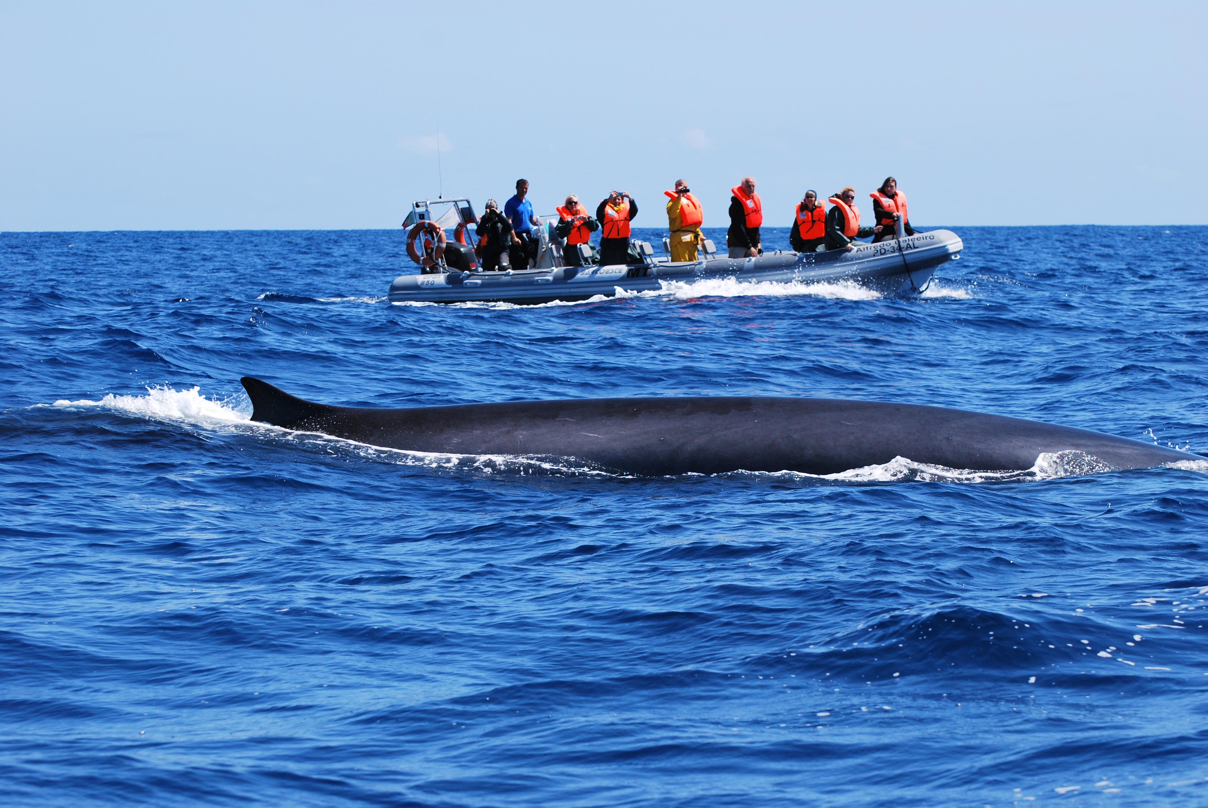 Azoren_whale watching 3_Sao Miguel