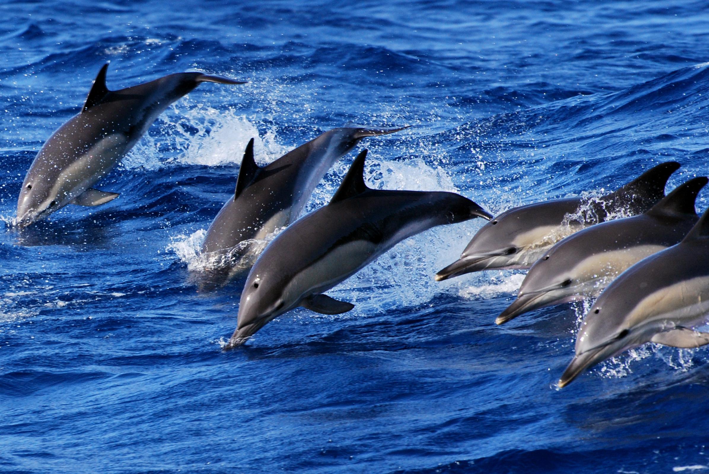 Azoren_Schwimmen mit Delfinen_Sao Miguel