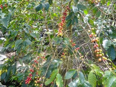 São Jorge_Kaffeeplantage