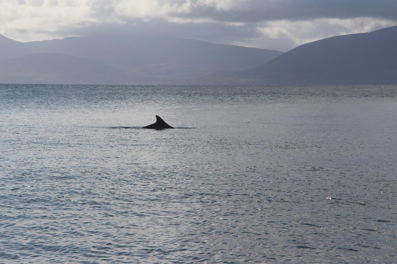 Dolphin, Fungie, Dingle
